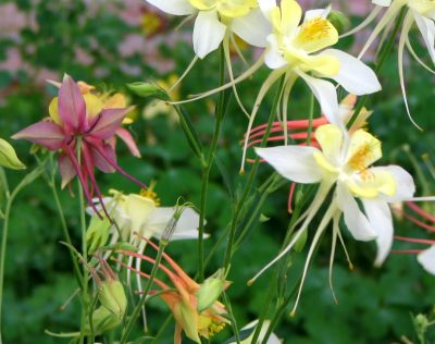 Columbine assortment