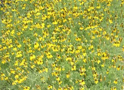 Prairie Coneflower yellow